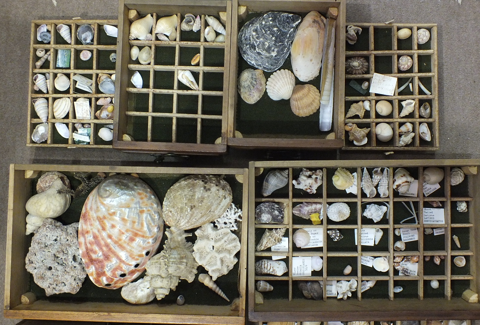 Lot 538 - A seashell collection, mainly from the Bahamas, contained in a miniature chest of five drawers.