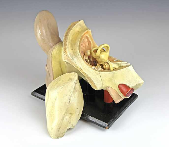Lot 56 - Medizin - - Anatomisches Modell des menschlichen Ohres. Deutschland um 1900, Gips, Pappmaché und