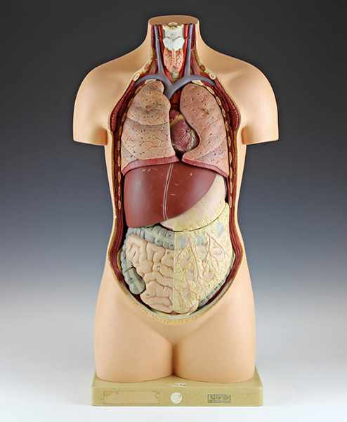 Lot 57 - Medizin - - Anatomischer menschlicher Torso. Deutschland um 1925, mit Firmenetikett von Marcus