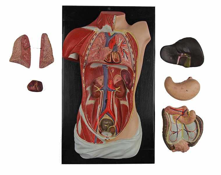 Lot 49 - Medizin - - Anatomischer menschlicher Torso. Böhmen um 1900, unbezeichnet, Pappmaché und Gips farbig