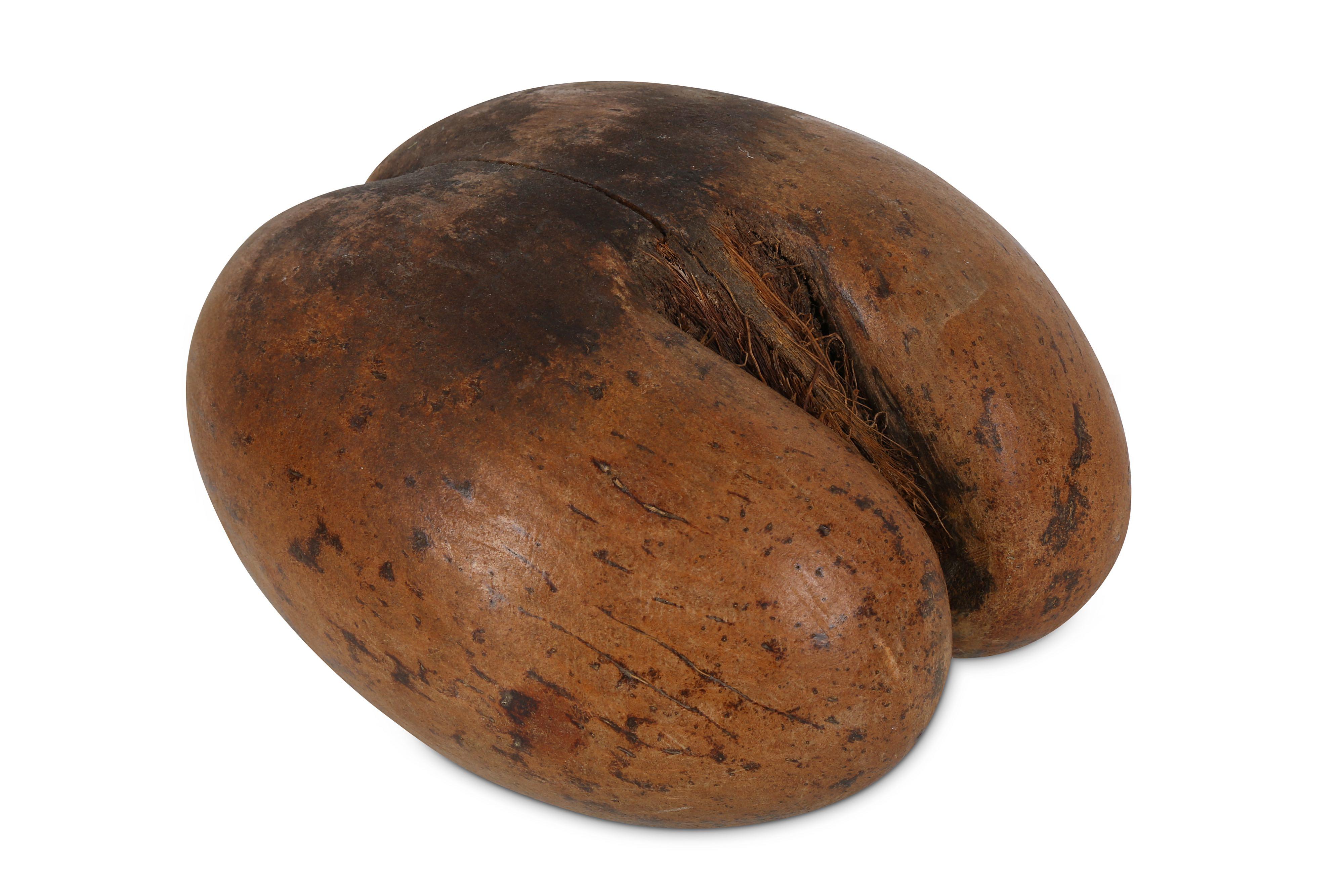 A POLISHED COCO DE MER NUT (LODOICEA MALDIVICA)
