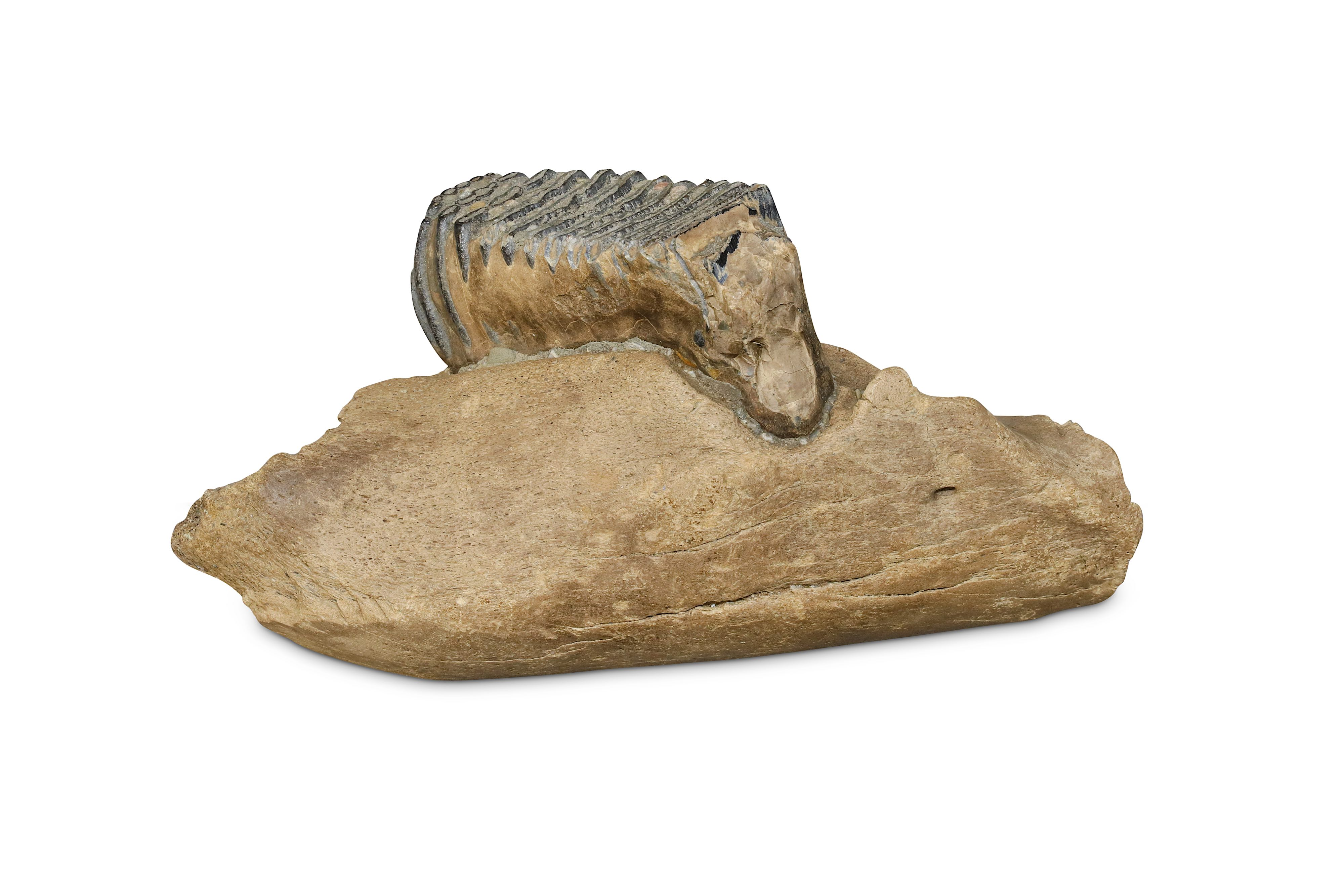 Lot 16 - WOOLLY MAMMOTH (MAMMUTHUS PRIMIGENIUS), A MOLAR LOWER JAW