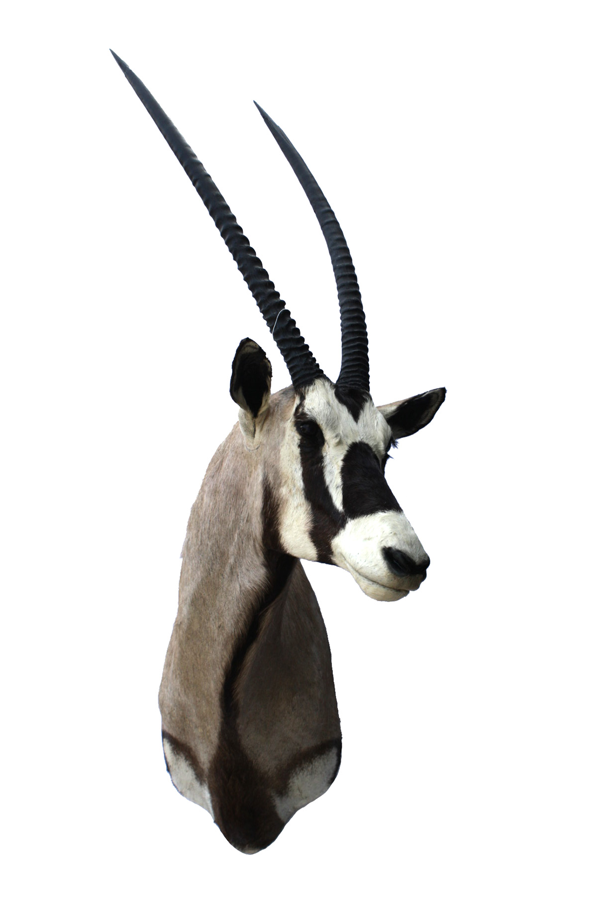 Lot 85 - A CAPE AND HEAD MOUNT OF A GEMSBOK (oryx gazella), with approx. 33in. horns