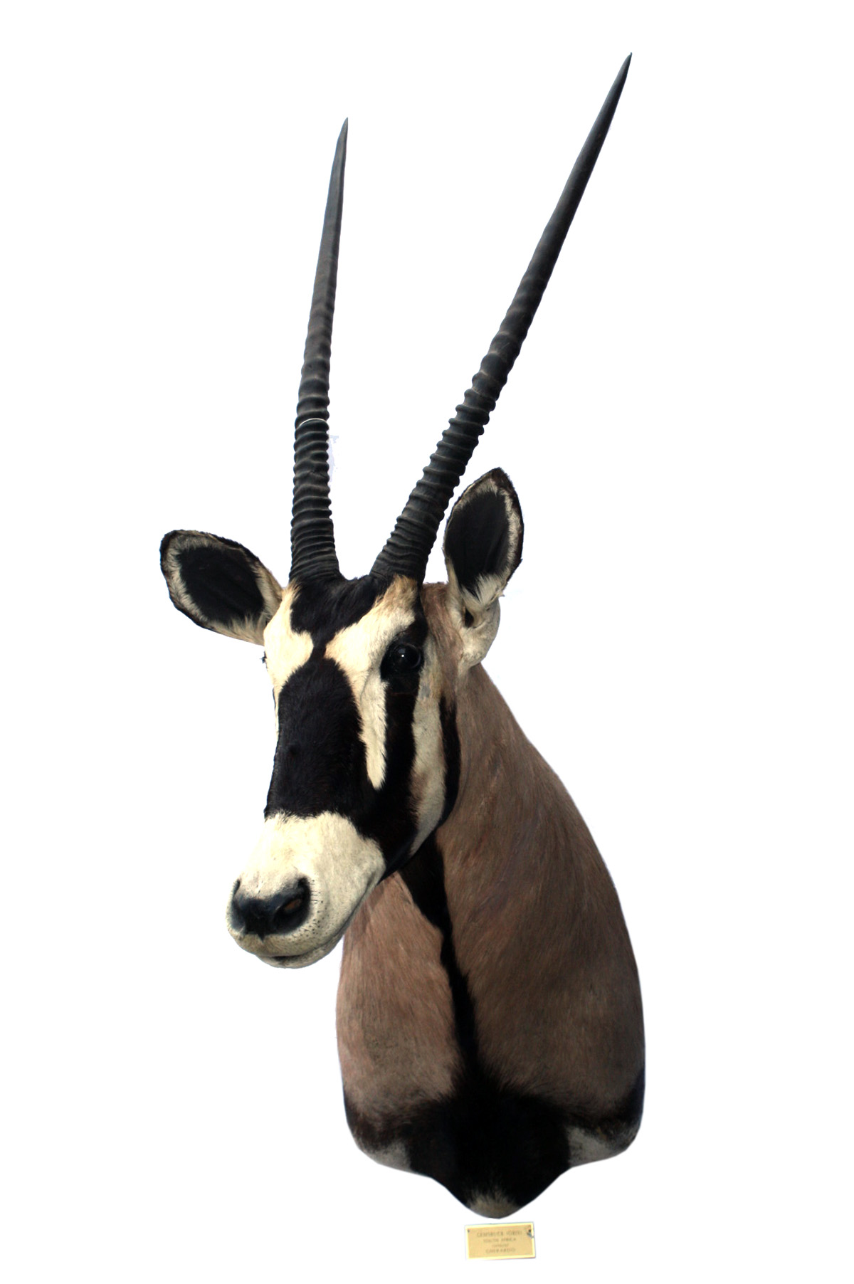 Lot 86 - A CAPE AND HEAD MOUNT OF A GEMSBOK (oryx gazella), with approx. 32in. hornsPre-1939