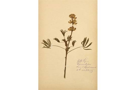 biologie - botanik - herbarium - - wolff, f. herbarium mit ca. 150, Garten und Bauen
