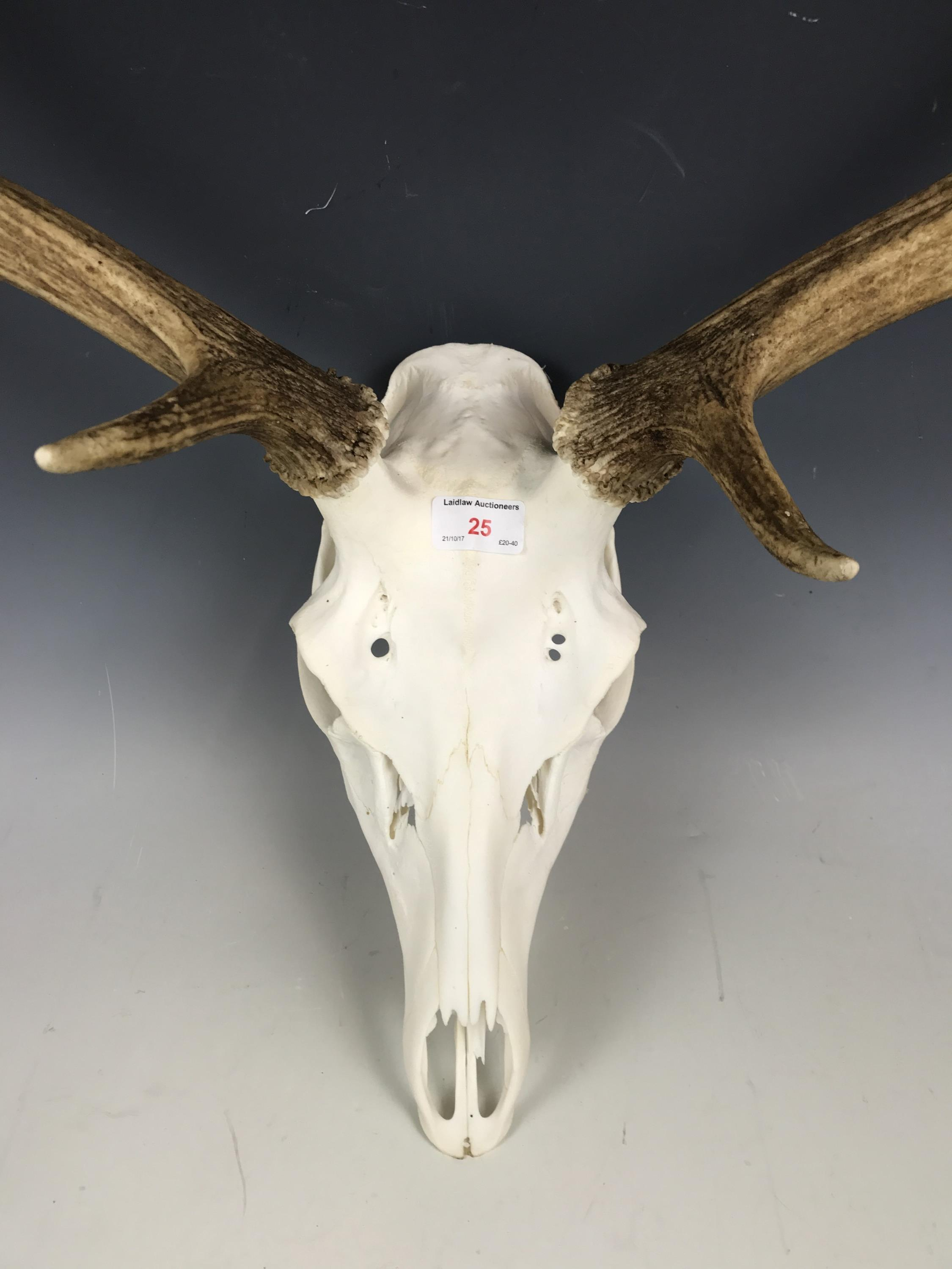 Lot 25 - A set of Scottish red stag antlers