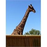 Giraffe by Christian Hoffmann