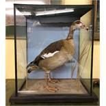 TAXIDERMIC EGYPTIAN GOOSE IN GLAZED CASE (BIRD IS IN VERY GOOD CONDITION) 55CM X 61CM X 33CM APPROX