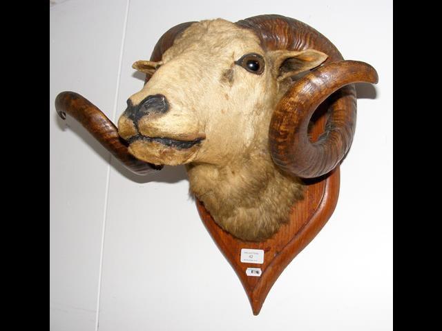 Lot 42 - A stuffed and mounted Ram's head