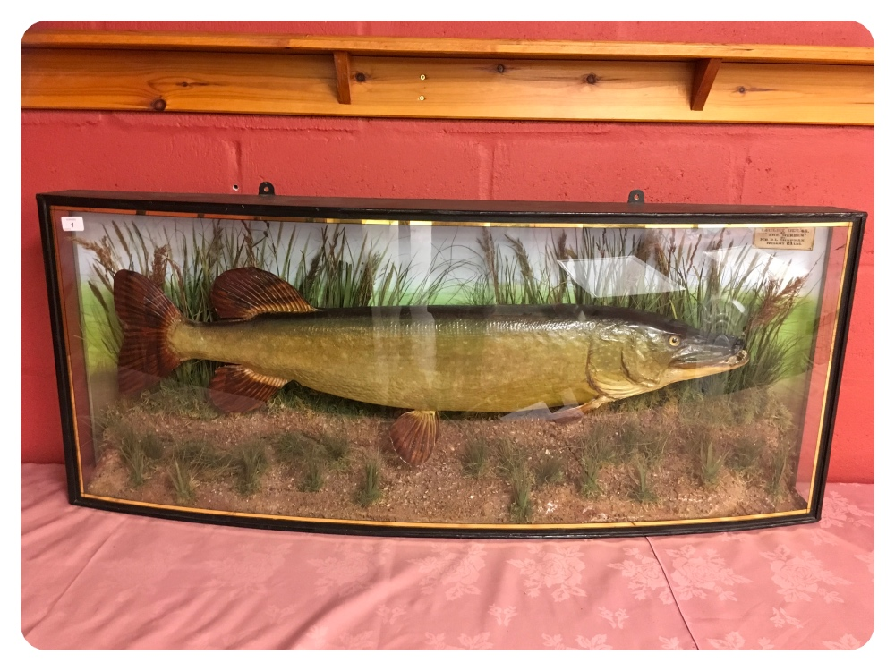 Lot 1 - TAXIDERMY STUDY OF A PIKE DISPLAYED IN A