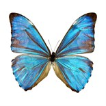 Lot 4A - Tim Ashley (b.1961) – Morpho, from the Butterflies series, undated, photograph, framed and glazed
