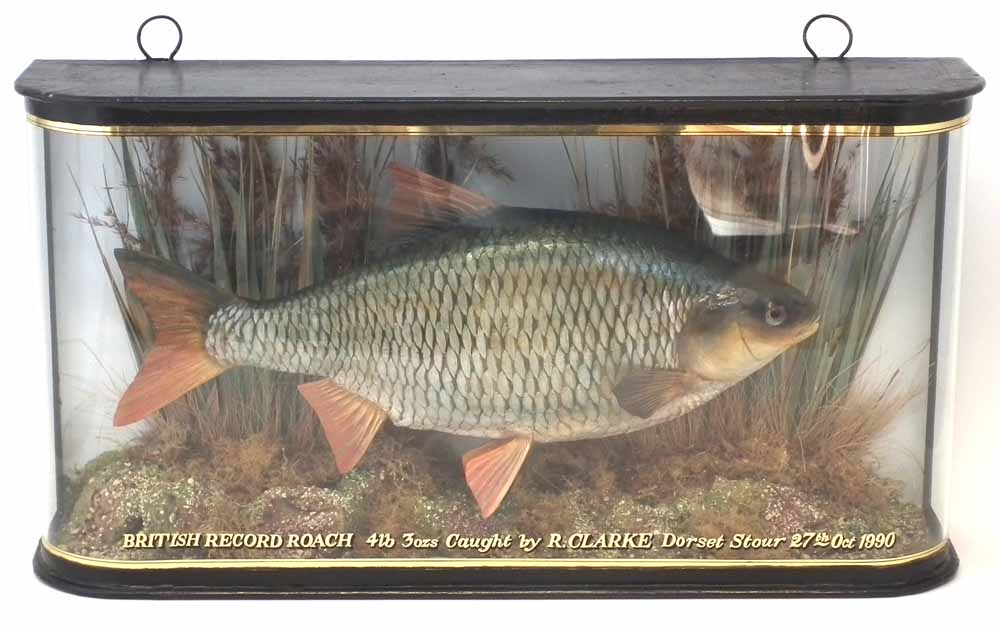 Lot 30 - Cased Taxidermy stuffed Roach, the rounded glass front with inscription 'British Record Roach, 4lb