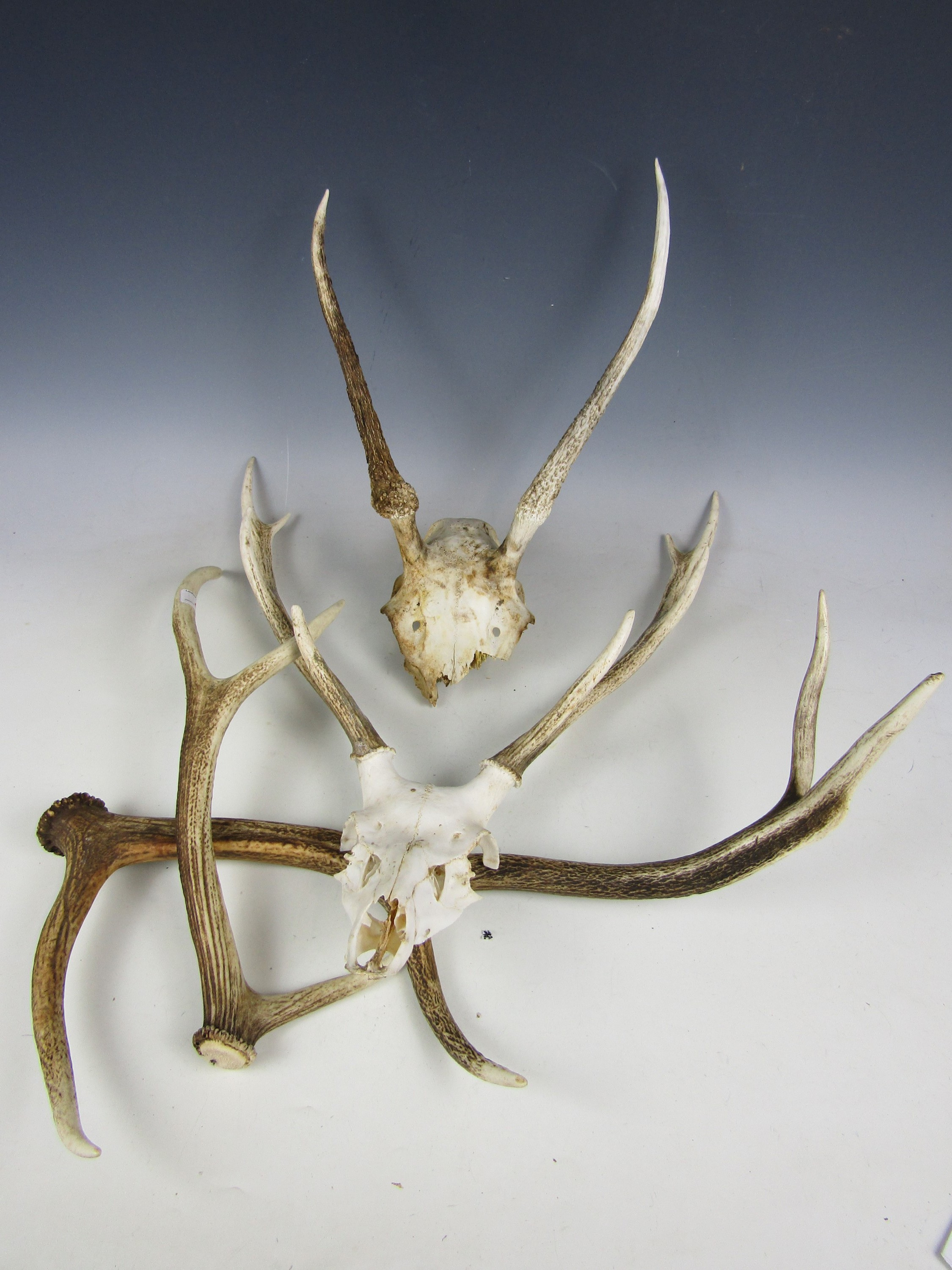 Lot 40 - Red deer antlers and two skull mounts