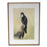 "A 1960's watercolour painting of a female black arrowhead hawk, signed Black & dated 1964, 16½"" x"