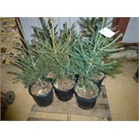 (9) Norway Spruce, 9x the $. Approx 2' tall, pot grown
