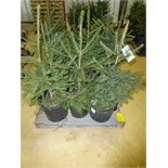(12) Norway Spruce, 12x the $. Approx 2' tall, pot grown