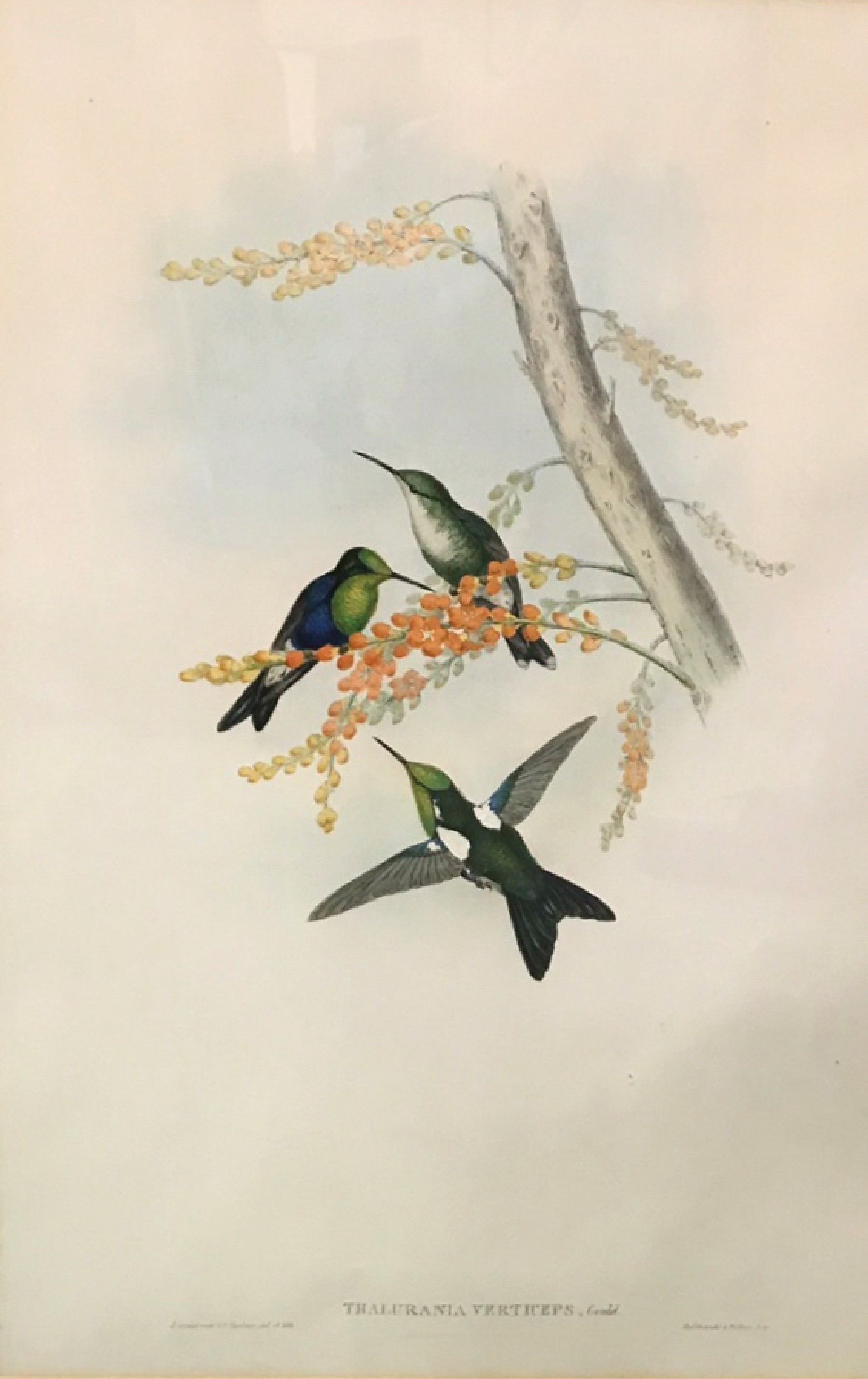"After John Gould & Henry Constantine Richter (19th-20th Century) British. ""Thalurania Berticeps"","