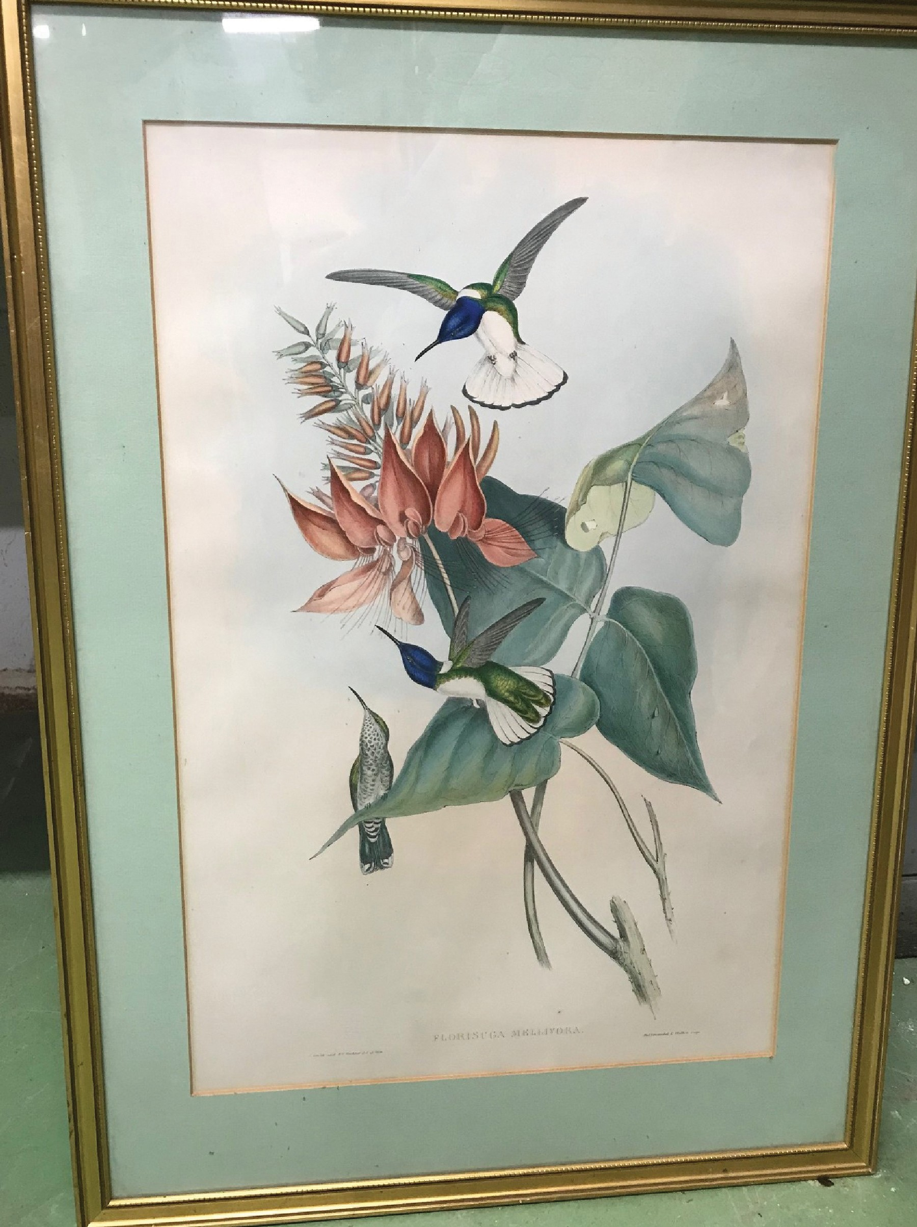 "After John Gould & Henry Constantine Richter (19th-20th Century) British. ""Thalurania Berticeps"", - Image 3 of 5"