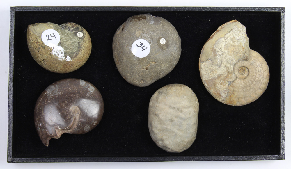 (lot of 5) Ammonite fossil group - Image 2 of 2