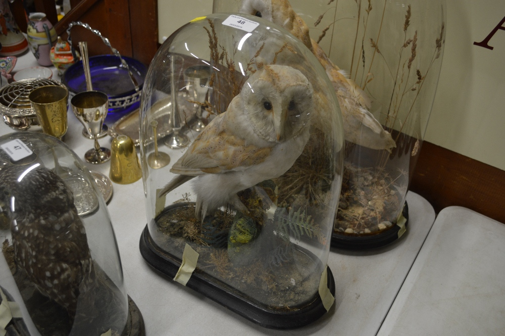 Lot 48 - An early 20th Century taxidermy barn owl in glass