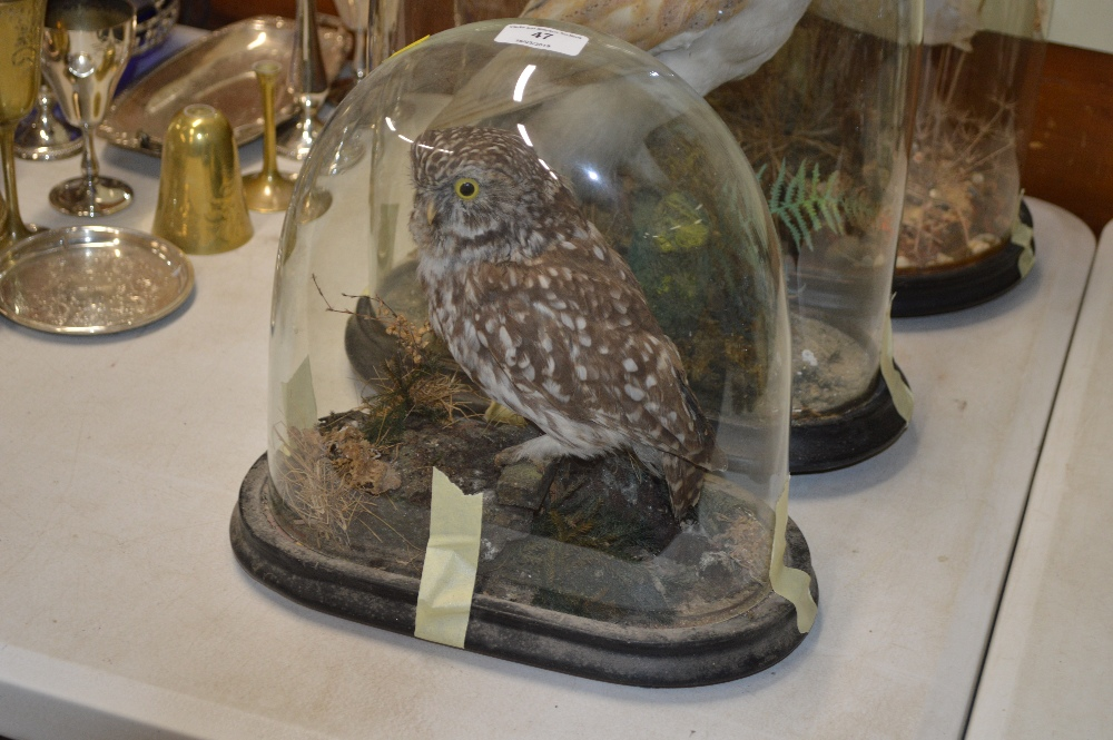 Lot 47 - An early 20th Century taxidermy tawny owl in glass