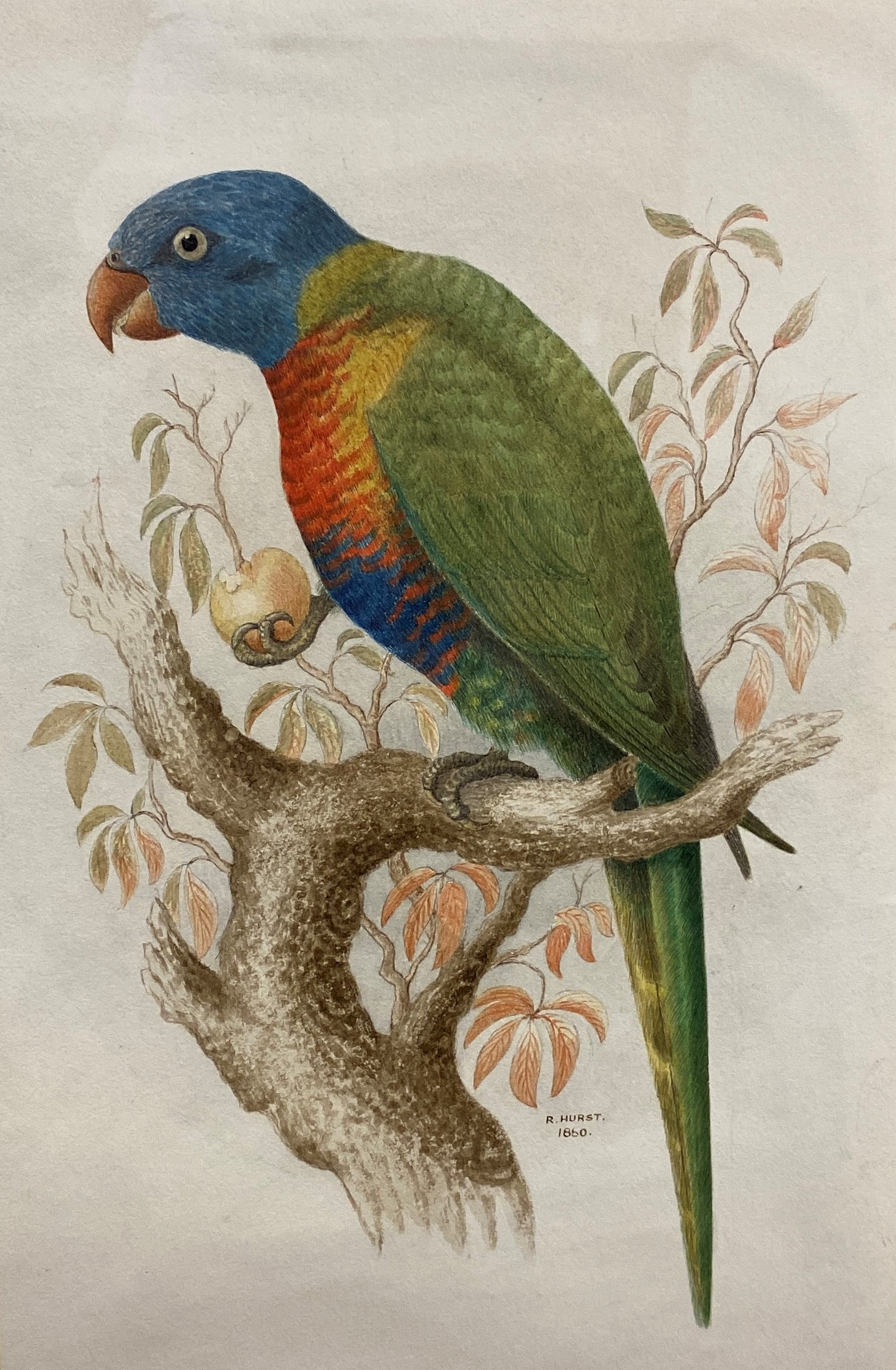 Lot 52 - Richard Hurst (Late 19th Century) 'The Blue-Bellied Lory', a study of a Rainbow Lorikeet,