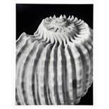 Alfred Ehrhardt. Muscheln und Schnecken. Zwölf Fotografien. 1938/1981. 30 : 24 cm. Rückseitig