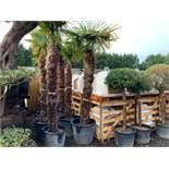 1 X 3M TALL DECORATIVE TRACHYCARPUS PALM TREE