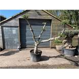 LARGE ORNATE 2M TALL YOUNG DECORATIVE BONSAI OLIVE TREE IN POT
