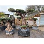 EXCEPTIONAL 250 + YEAR OLD DECORATIVE STATEMENT OLIVE BONSAI TREE