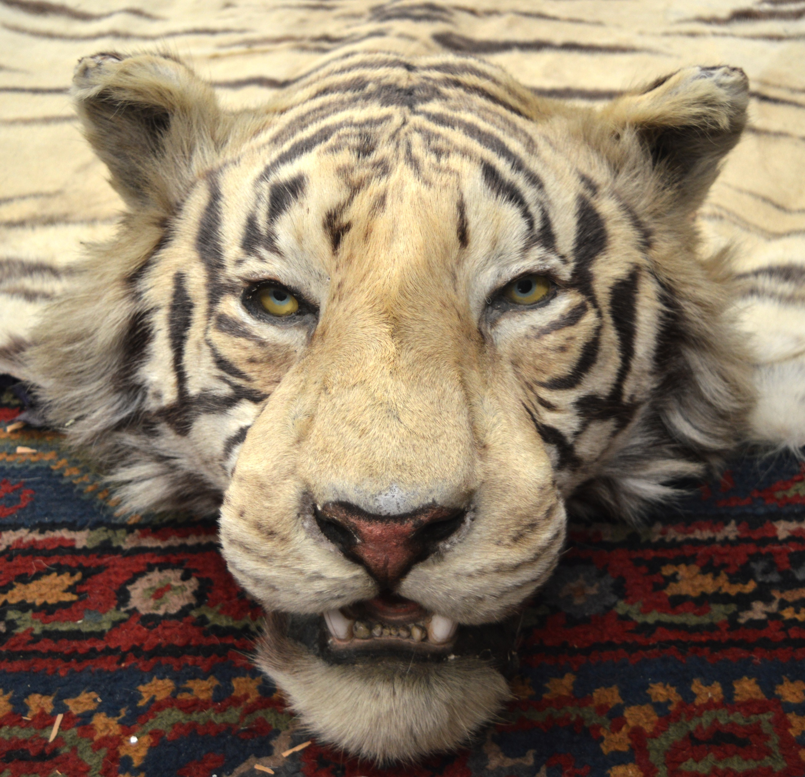 A FINE VICTORIAN FULL LENGTH TAXIDERMY TIGER SKIN RUG Of