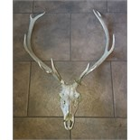 Set of Deer Antlers 10 points with Skull