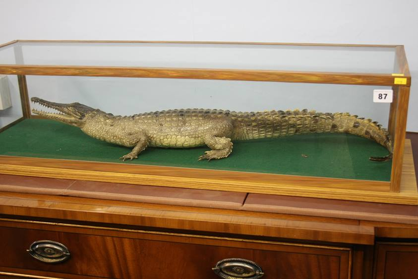 Lot 87 - A taxidermy study of a Cayman, in a glass case