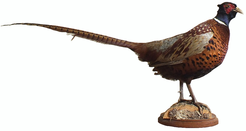 A taxidermy of a cock pheasant mounted on a plinth