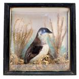 A taxidermy cased and mounted bird in naturalistic setting,
