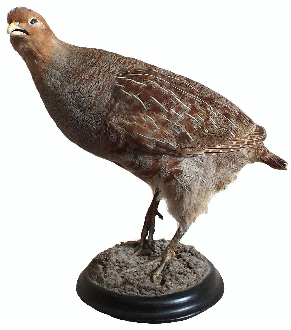 A taxidermy English partridge mounted on a plinth