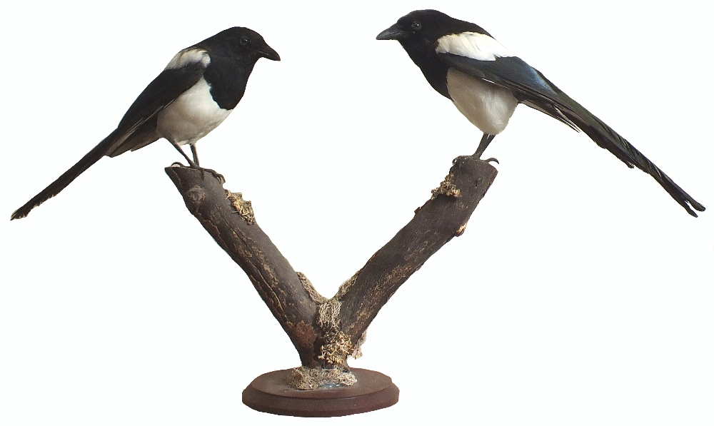 A taxidermy of two magpies mounted on V shaped branch