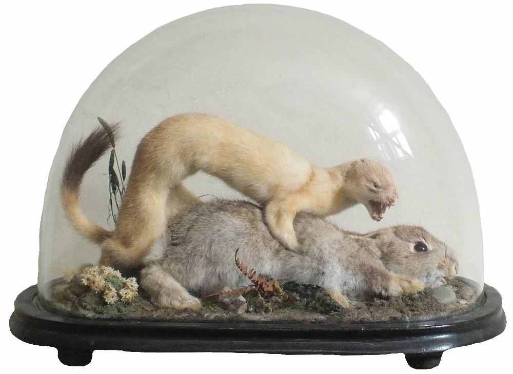 A taxidermy scene of a rabbit being preyed on by a stoat,