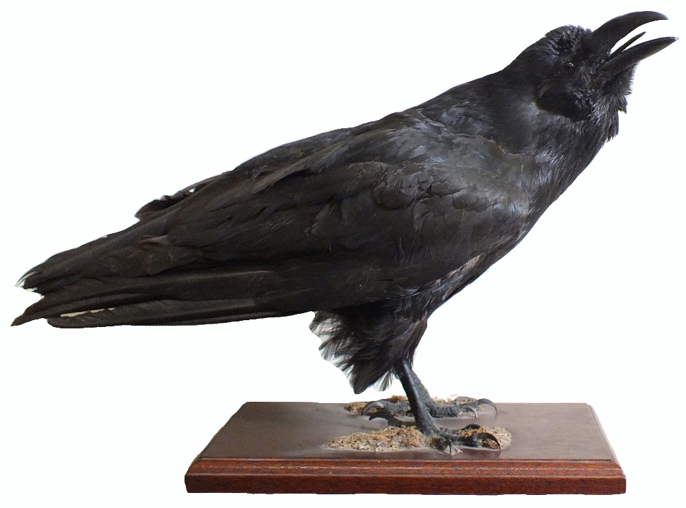 Lot 11 - A taxidermy raven mounted on a wooden plinth