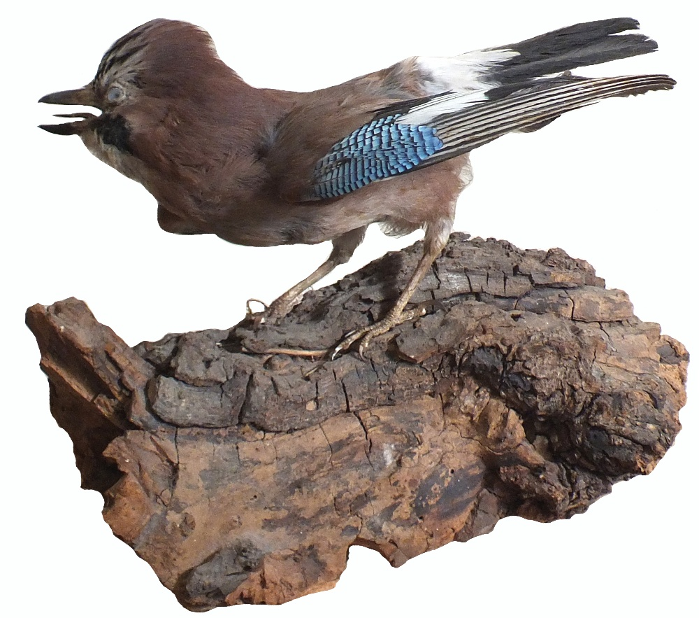 A taxidermy of a jay mounted on a bark plinth