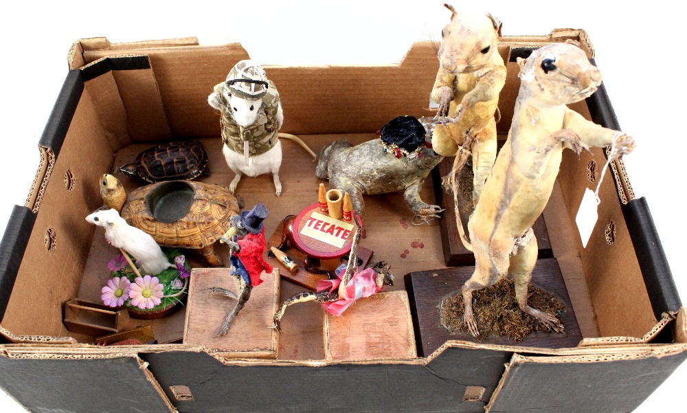 Various taxidermy including dressed white rat etc