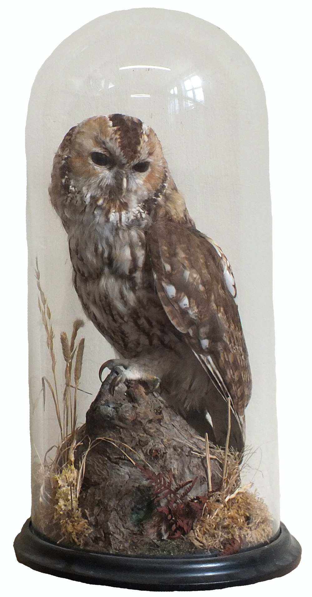 Lot 14 - A taxidermy tawny owl in a naturalistic setting under a fine glass dome