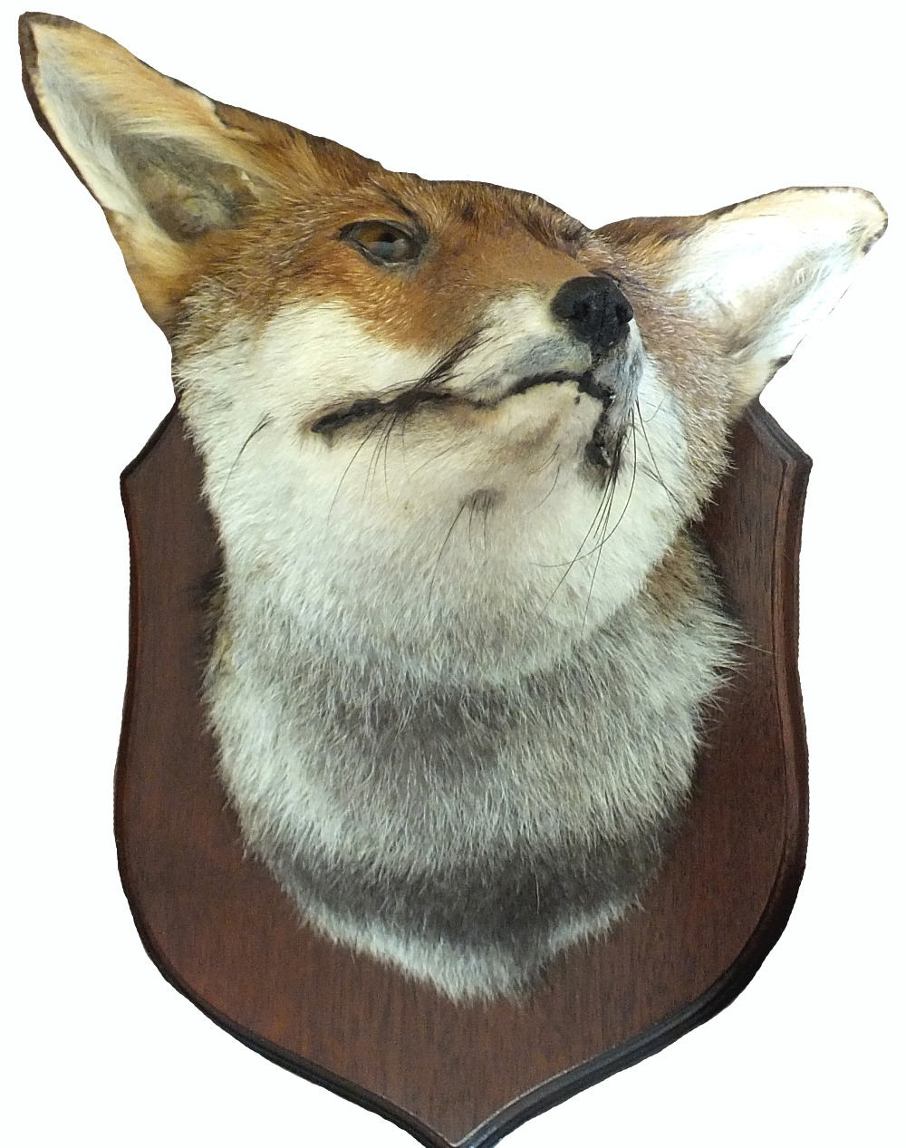 A taxidermy fox's head mounted on wooden shield