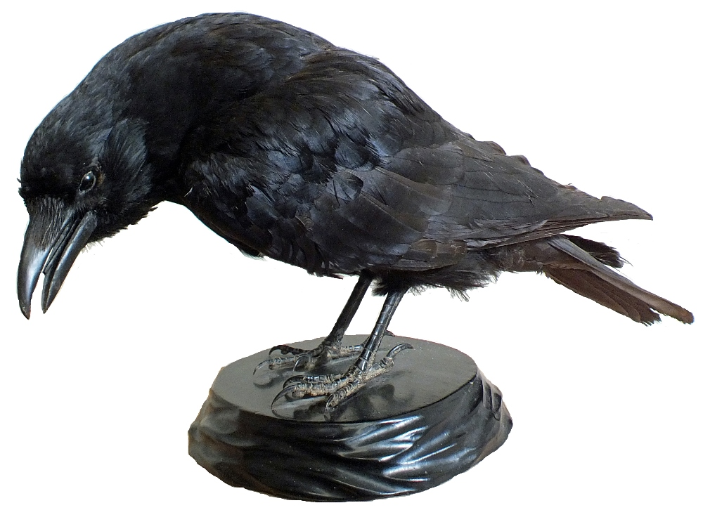 Lot 26 - A taxidermy of a crow mounted on black plinth