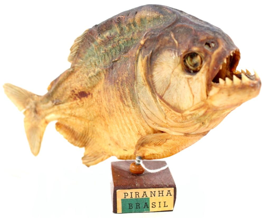A taxidermy of a Brazilian piranha