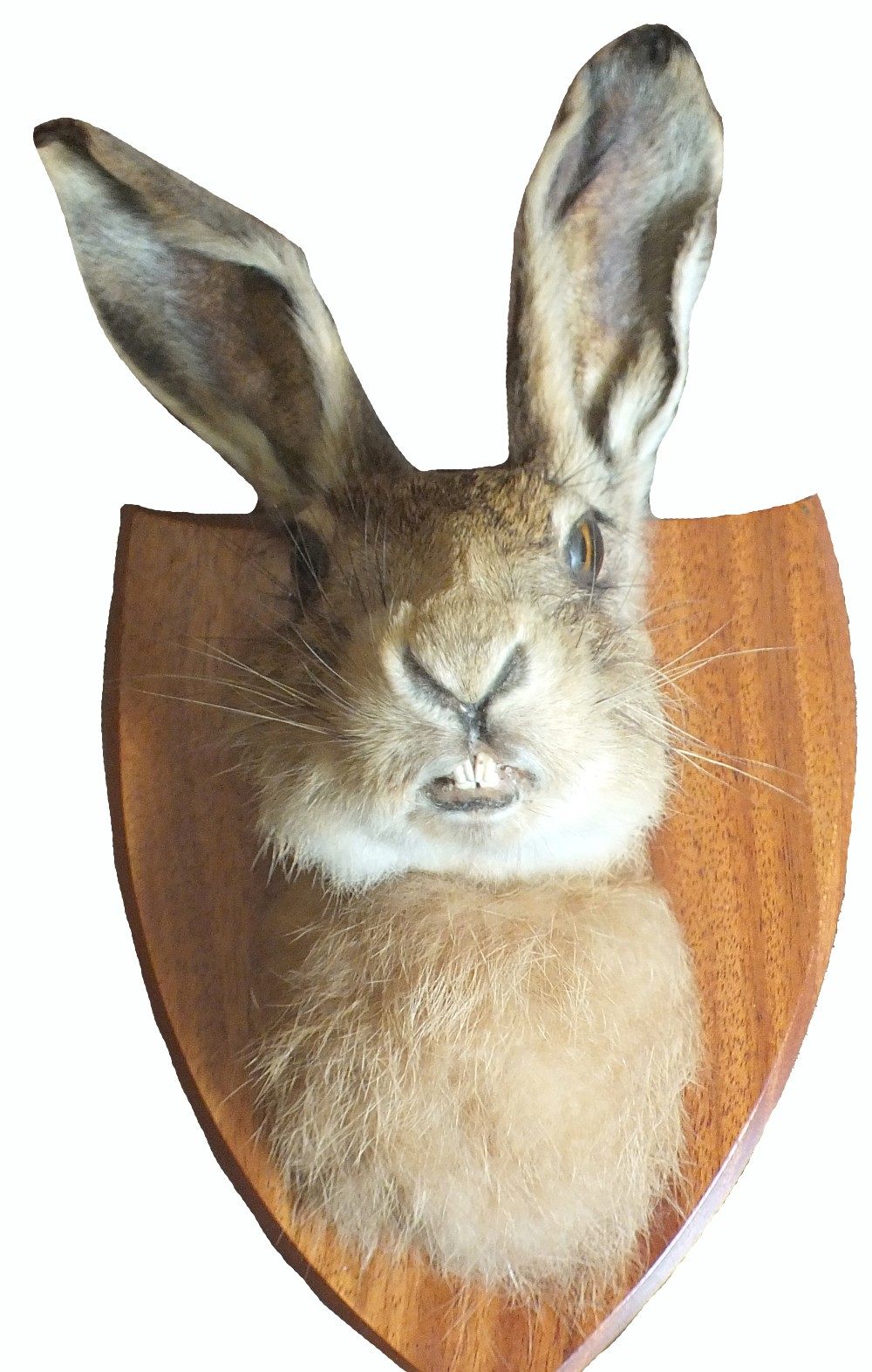 Lot 24 - A taxidermy of a hare's head mounted on shield