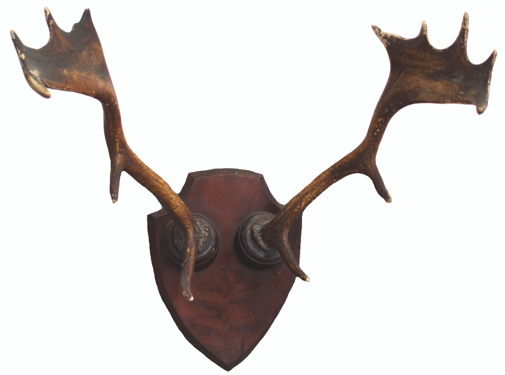 Lot 8 - A pair of antlers mounted on shield