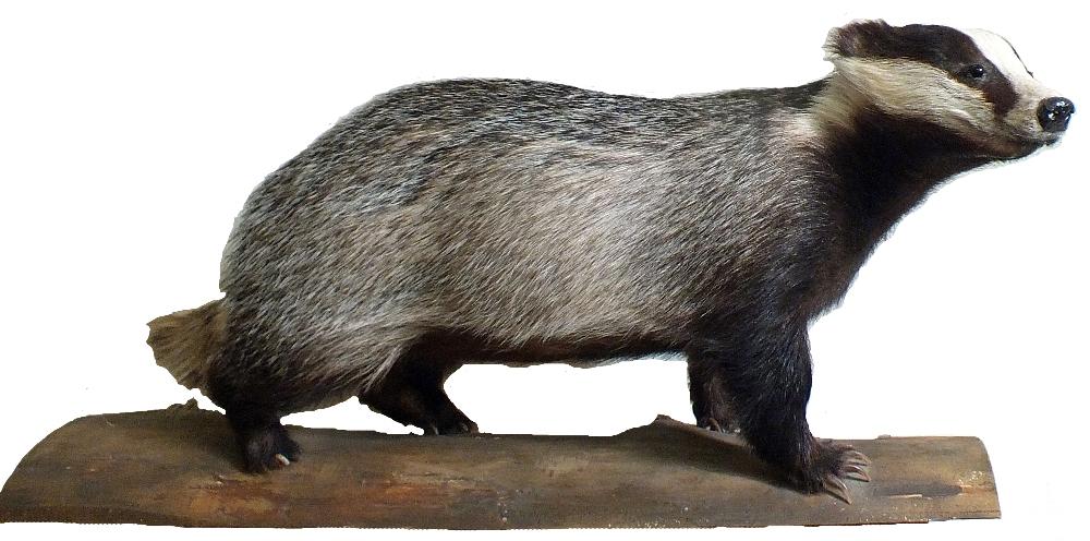 A taxidermy badger mounted on a plinth by Adrian Edwards,