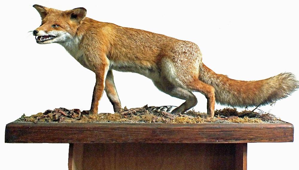 Lot 18 - A taxidermy fox mounted on plinth