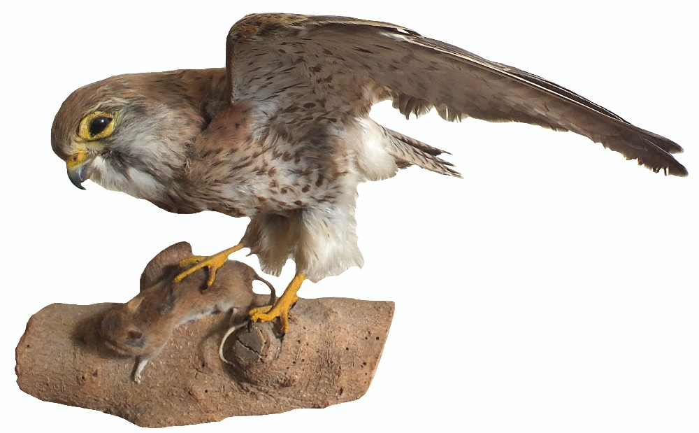 A vintage taxidermy of a hen kestrel with its prey mounted on wooden plinth